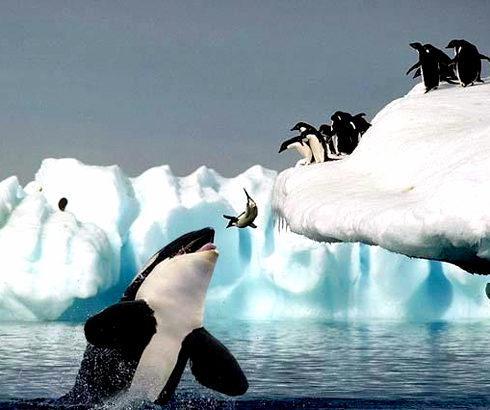 仲間を突き落とすペンギン